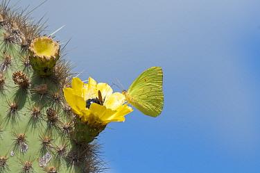 Galapagos sulphur butterfly (Phoebis sennae marcellina) feeding from Opuntia (Opuntia sp) cactus flower with endemic Carpenter bee (Xylocopa darwinii) Alcedo Volcano, Isabela Island, Galapagos, Ecuado...