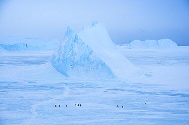 Adelie penguin (Pygoscelis adeliae) walking across seasonal sea ice, passing frozen-in iceberg, near Davis Station, Prydz Bay, East Antarctica, November.