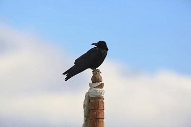 Large-billed crow (Corvus macrorhynchos) perched on post, Napahai Lake, Zhongdian County, Yunnan Province, China. January.