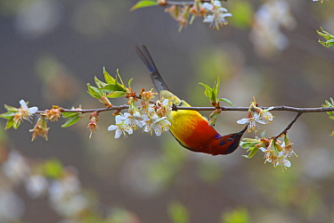 Mrs Gould's sunbird (Aethopyga gouldiae dabryii) male hanging upside down and feeding from Chinese wild peach (Prunus davidiana) male blossom, Kawakarpo Mountain, Meri Snow Mountain National Park,...