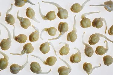 Sprouting Chickpeas (Cicer arietinum) on white background.