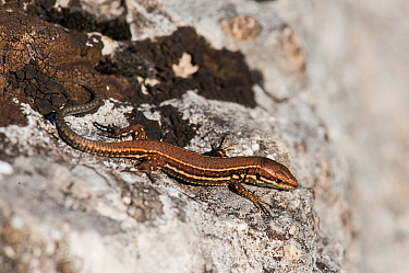 Common wall lizard (Podarcis muralis) juvenile, Kelheim, Bavaria, Germany, September.