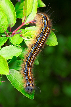 Lackey moth (Malacosoma neustria) caterpillar, Sussex, UK. June,