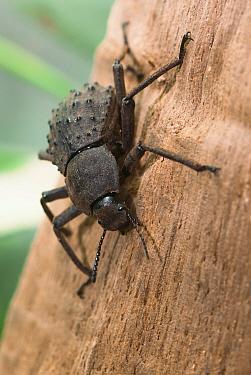 Giant Fregate Island beetle (Polposipus herculeanus) captive. Vulnerable species.