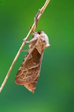 Orange swift moth (Hepialus sylvina) August.