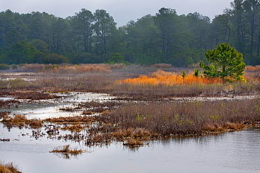 Marshland with maritime forest, Black Duck Pool, Chincoteague. National Wildlife Refuge, Assateague Island, Virginia, USA. March 2012.