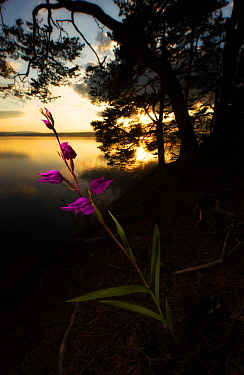 Red helleborine (Cephalanthera rubra) by lake, with silhouetted trees at sunset, Norway, July.