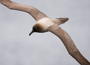 Light-mantled sooty albatross (Phoebetria palpebrata) in flight, Auckland Island, Sub-Antarctic Zealand. February.