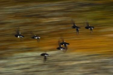 Little auk (Alle alle) group in flight, blurred motion, Spitsbergen, Svalbard, Norway, July.