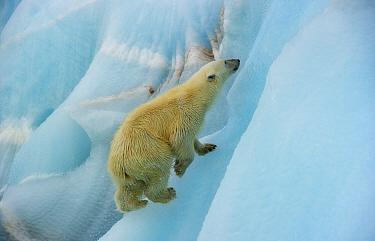 Polar bear (Ursus maritimus) climbing blue ice, Nordaustlandet, Svalbard, Norway, July.