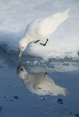 Ivory gull (Pagophila eburnea) drinking with reflection in water, Svalbard, Norway, July.