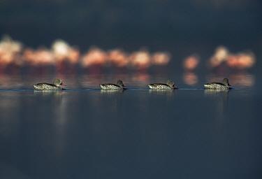Cape teal (Anas capensis) group swimming past Lesser flamingos (Phoenicopterus minor) Lake Nakuru, Kenya.