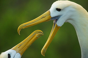 Waved albatross (Phoebastria irrorata) pair in courtship display, Espanola, Galapagos Islands. Critically endangered species.