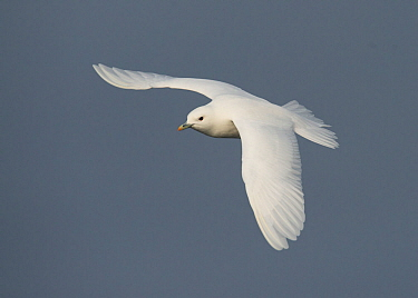 Ivory gull (Pagophila eburnea) in flight, Storfjorden, Svalbard, Norway, June.