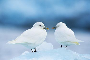 Two Ivory gulls (Pagophila eburnea) on ice, Storfjorden, Svalbard, Norway, June.