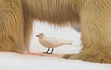 Ivory gull (Pagophila eburnea) behind Polar bear (Ursus maritimus) framed by its legs, Svalbard, Norway, July.
