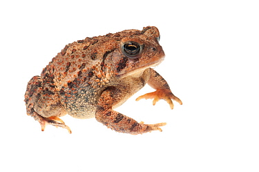 Fowler's toad (Anaxyrus fowleri) Oxford, Mississippi, USA, April. Meetyourneighbours.net project