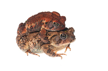 Fowler's toads in amplexus (Anaxyrus fowleri) Oxford, Mississippi, USA, April. Meetyourneighbours.net project