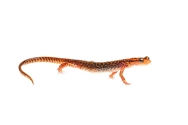 Long-tailed salamander (Eurycea longicauda) Tishomingo State Park, Mississippi, USA, April. Meetyourneighbours.net project