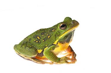 Barking treefrog (Hyla gratiosa) Tishomingo State Park, Mississippi, USA, April. Meetyourneighbours.net project