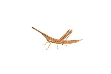 Spine knee toothpick grasshopper (Achurum sp.) Elliott, Mississippi, USA, April. Meetyourneighbours.net project