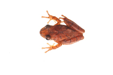 Spring peeper frog  (Pseudacris crucifer) Water Valley, Mississippi, USA, April. Meetyourneighbours.net project