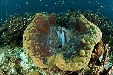 Giant clam (Tridacna gigas) Raja Ampat, West Papua, Indonesia.