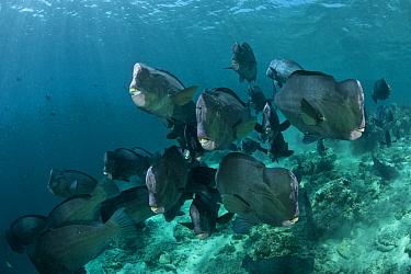 Bumphead parrotfish (Bolbometopon muricatum) shoal. Sipadan Island, Sabah, Borneo.