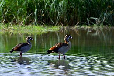 Egyptian goose (Alopochen aegyptiacus) Lake Chamo. Nechisar National Park. Ethiopia, November 2014