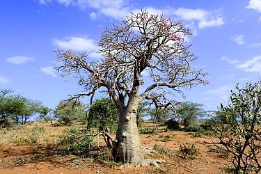 Boabab (Adansonia digitata). Lower Omo Valley. Ethiopia, November 2014