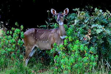 Mountain nyala (Tragelaphus buxtoni) female. Bale Mountains National Park,  Ethiopia. Endemic, endangered species.