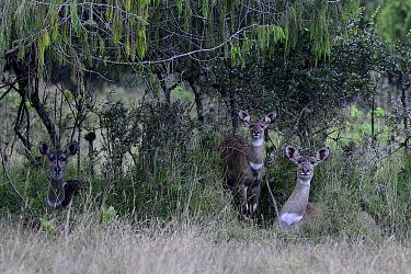 Mountain nyalas (Tragelaphus buxtoni) females. Bale Mountains National Park,  Ethiopia. Endemic, endangered species.