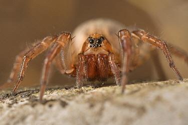 Ground wolf-spider (Trochosa terricola) female, Peak District National Park, Derbyshire, UK. April.