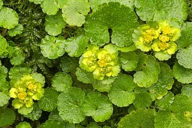 Alternate-leaved golden saxifrage (Chrysosplenium alternifolium). Peak District National Park, Derbyshire, UK. March.