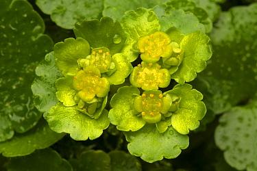 Alternate-leaved Golden Saxifrage (Chrysosplenium alternifolium) in flower, Peak District National Park, Derbyshire, UK. March.