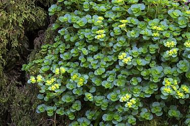 Opposite-leaved golden saxifrage (Chrysosplenium oppositifolium). Peak District National Park, Derbyshire, UK. March.