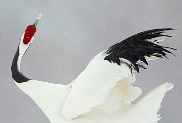 Japanese crane (Grus japonensis) displaying, Hokkiado, Japan, February