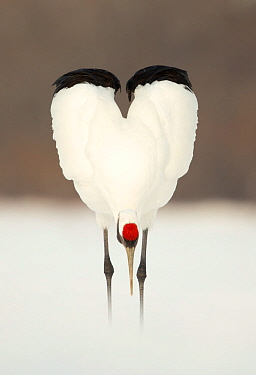 Japanese crane (Grus japonensis) displaying, wings in heart shape, Hokkiado, Japan, February