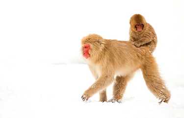 Japanese Macaque (Macaca fuscata) carrying young on back through snow, Nagano, Japan, February
