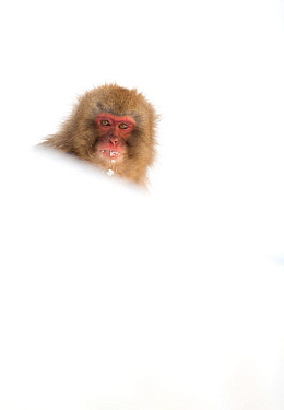Snow Monkey (Macaca fuscata) peering over bank of snow, Nagano, Japan, February