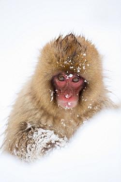 Snow Monkey (Macaca fuscata) in snow, Nagano, Japan, February