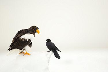 Steller's sea eagle (Haliaeetus pelagicus) and Large billed crow (Corvus macrorhynchos.) in snow, Japan, February