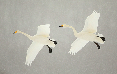 Whooper swans (Cygnus cygnus) two in flight, during snowfall, Lake Kussharo, Japan, February