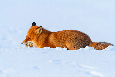 Red fox (Vulpes vulpes) feeding on frozen lemmings buried in deep snow. Lapland, Finland. March.