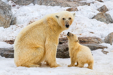 Polar bear (Ursus maritimus) mother with cub, Spitsbergen, Svalbard, Norway. July
