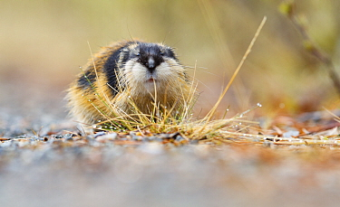 Norwegian lemming (Lemmus lemmus) portrait, Troms. Norway.