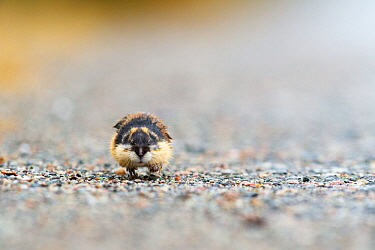 Norwegian lemming (Lemmus lemmus) on path, Troms. Norway.
