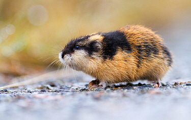 Norwegian lemming (Lemmus lemmus) profile, Troms. Norway.