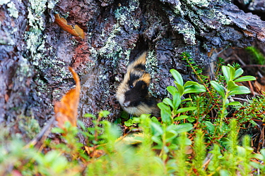 Norwegian lemming (Lemmus lemmus) peering out from under rock, Troms. Norway.