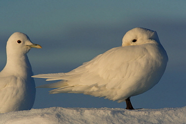 Two Ivory gulls (Pagophila eburnea) standing on snow, one of them is cleaning itself, Svalbard, Norway, Arctic, September